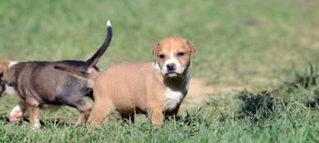 Cute amstaff puppy Stock Photo
