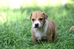 Cute amstaff puppy Stock Photos
