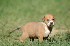 Cute amstaff puppy Stock Image