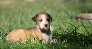 Cute amstaff puppy Stock Photos