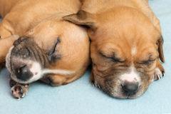 Cute amstaff puppy Royalty Free Stock Photo