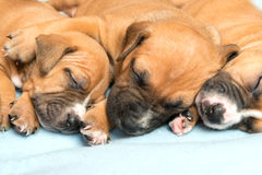 Cute amstaff puppy Stock Image