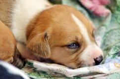 Cute amstaff pyppy sleeping Stock Image