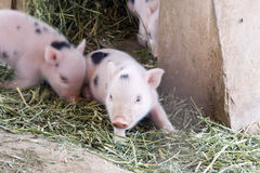 Cute And Fuzzy One Week Old Baby Piglets Stock Image