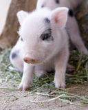 Cute And Fuzzy One Week Old Baby Piglets Stock Photos