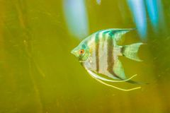 Cute angelfish (Pterophyllum) fish, a small genus of freshwater. Fish from the family Cichlidae known to most aquarists as angelfish Royalty Free Stock Photo