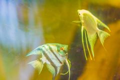 Cute angelfish (Pterophyllum) fish, a small genus of freshwater. Fish from the family Cichlidae known to most aquarists as angelfish Stock Images