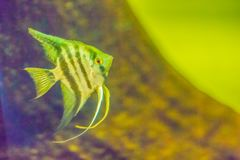 Cute angelfish (Pterophyllum) fish, a small genus of freshwater. Fish from the family Cichlidae known to most aquarists as angelfish Stock Photo