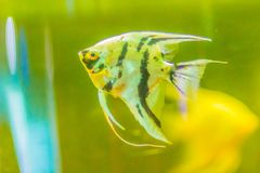 Cute angelfish (Pterophyllum) fish, a small genus of freshwater. Fish from the family Cichlidae known to most aquarists as angelfish Royalty Free Stock Images