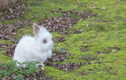 Cute Angora rabbit sitting in the grass on a autumn day Royalty Free Stock Image