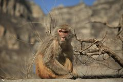 Cute angry Monkey royalty free stock image