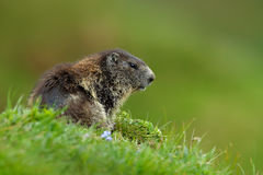 Cute animal. Fighting animals Marmot, Marmota marmota, in the grass with nature rock mountain habitat, Alp, Austria. Mormot with g Royalty Free Stock Photography