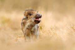 Cute animal in forest. Portrait of wild pig, grass meadow. Young Wild boar, Sus scrofa, running in the grass meadow, red autumn fo. Cute animal in forest Royalty Free Stock Image