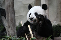 Cute animal Giant panda eating bamboo in the zoo Stock Photos