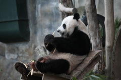Cute animal The Giant panda eating on chair royalty free stock images