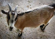 Cute animal Goat royalty free stock image