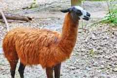 Cute animal- Lama. Royalty Free Stock Photo