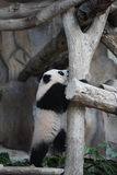 Cute animal little baby giant panda clamber Royalty Free Stock Photography