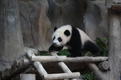 Cute animal little giant panda clamber Stock Images