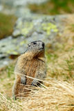 Cute animal Marmot, Marmota marmota, sitting in he grass, Gran Paradiso, Italy Stock Photos