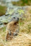 Cute animal Marmot, Marmota marmota, sitting in he grass, Gran Paradiso, Italy Stock Photos