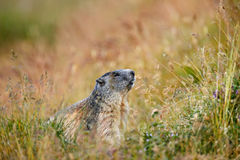 Cute animal Marmot, Marmota marmota, sitting in he grass, Gran Paradiso, Italy Royalty Free Stock Photo