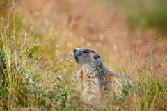 Cute animal Marmot, Marmota marmota, sitting in he grass, Gran Paradiso, Italy Stock Photography