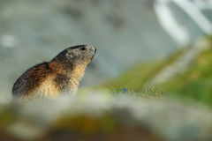 Cute animal Marmot, Marmota marmota, sitting in the grass with nature rock mountain habitat, Alp, Austria Stock Photos