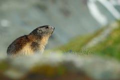 Cute animal Marmot, Marmota marmota, sitting in the grass with nature rock mountain habitat, Alp, Austria Stock Photos