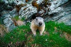 Cute animal Marmot, Marmota marmota, sitting in the green grass. Marmot in the nature rock habitat, Alp, France. Wildlife scene fr. Om nature Stock Photos