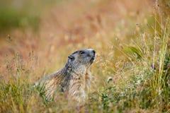 Free Cute Animal Marmot, Marmota Marmota, Sitting In He Grass, Gran Paradiso, Italy Royalty Free Stock Photo - 67962285
