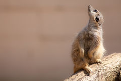 Cute animal nature image with copy space. Meerkat looking up. At the sky. Ideal popular wildlfie poster image Royalty Free Stock Photo