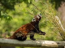 Cute animal, one red panda bear eating bamboo. Animal sitting on a log, holding a bamboo branch while stretching towards Stock Photography