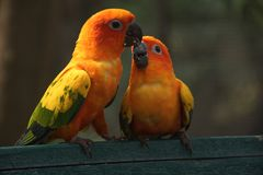 The cute parrots in love royalty free stock images