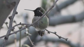 Anna's hummingbird stretches it's wings