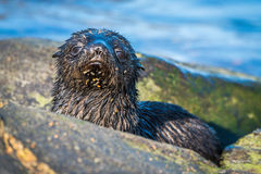 Cute Antarctic fur seal pup behind rock Royalty Free Stock Photo