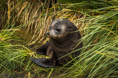Cute Antarctic fur seal pup in grass Royalty Free Stock Photos