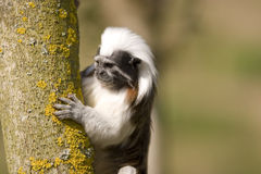 Cute ape. In bright light looking for something Royalty Free Stock Image