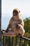 Cute ape in Gibraltar. Ape in Gibraltar sitting on the fence Royalty Free Stock Photo