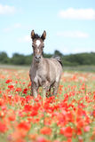 Arabian foal running in red poppy field