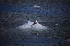Cute arctic bird resting on a small iceberg. Svalbard Royalty Free Stock Photos