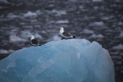 Cute arctic birds resting on a small iceberg. Svalbard Royalty Free Stock Images