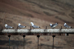 Cute arctic birds resting. Svalbard Stock Photos