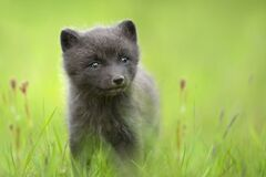Cute Arctic fox cub in the meadow