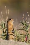 Cute Arctic Ground Squirrel Stock Images