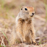 Cute Arctic ground squirrel Urocitellus parryii Royalty Free Stock Photo