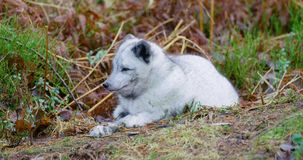 Cute arctic polar fox rests at forest floor in the early winter stock video footage