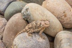 Arizona Horned Toad in Rocks. A cute Arizona horned toad lizard Stock Photo