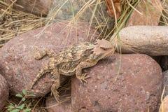 Cute Arizona Horned Toad. A cute Arizona horned toad lizard Stock Photography