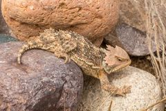 Cute Arizona Horned Toad in Rocks. A cute Arizona horned toad lizard Stock Images